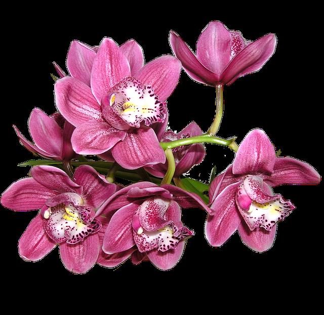 růžové květy orchideje
