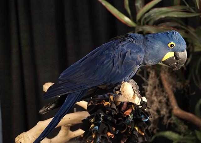 modrý papoušek