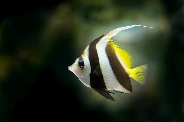 akvarijní rybka